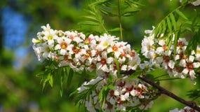 Bloemen van decoratieve boom Stock Foto
