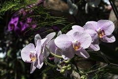 Bloemen van decoratieve orchideeën van witte en purpere kleuren Stock Afbeeldingen