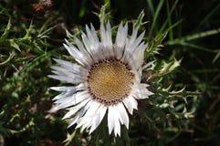 Bloemen van Distel Stock Fotografie