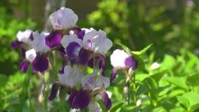 Bloemen van Duitse iris of Gebaard in de zomer stock video