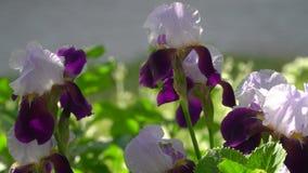 Bloemen van Duitse iris of Gebaard in de zomer stock videobeelden