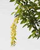Bloemen van een acacia Stock Fotografie