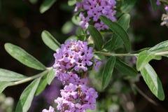Bloemen van een alternate-leaved alternifolia van vlinder-Bush Buddleja Royalty-vrije Stock Foto