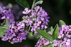 Bloemen van een alternate-leaved alternifolia van vlinder-Bush Buddleja Royalty-vrije Stock Foto's