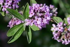 Bloemen van een alternate-leaved alternifolia van vlinder-Bush Buddleja Stock Afbeelding