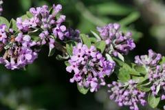 Bloemen van een alternate-leaved alternifolia van vlinder-Bush Buddleja Royalty-vrije Stock Afbeeldingen