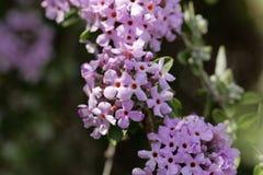 Bloemen van een alternate-leaved alternifolia van vlinder-Bush Buddleja Royalty-vrije Stock Afbeelding