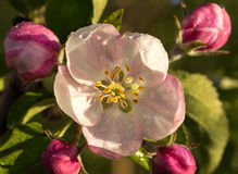 Bloemen van een appel in de lente Stock Foto