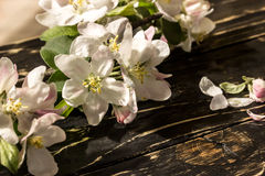 Bloemen van een appel in de lente Stock Fotografie