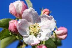 Bloemen van een Apple-boom Royalty-vrije Stock Afbeelding