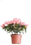 Bloemen van een azalea Royalty-vrije Stock Afbeeldingen