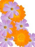Bloemen van een kamille met gele violette bloemblaadjes Royalty-vrije Stock Foto's