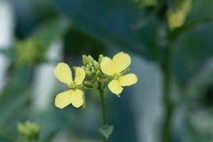 Bloemen van een napakool, Brassica rapa stock foto
