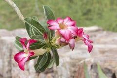 Bloemen van een Plumeria-Boom Stock Fotografie