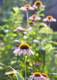 Bloemen van een purpere coneflower in zonlicht Royalty-vrije Stock Afbeeldingen