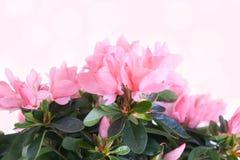 Bloemen van een roze azalea Stock Foto