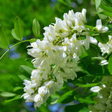 Witte acacia Royalty-vrije Stock Afbeelding