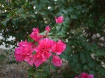 Bloemen van een zijn de magentar boeketbouganvilla bloeiend in lentetijd royalty-vrije stock fotografie