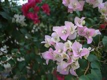 Bloemen van een zijn de magentar boeketbouganvilla bloeiend in lentetijd stock foto