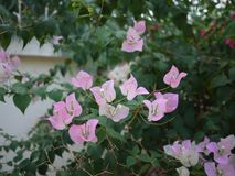Bloemen van een zijn de roze boeketbouganvilla bloeiend in lentetijd stock foto's