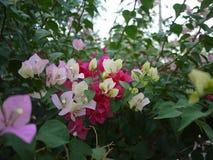 Bloemen van een zijn de roze boeketbouganvilla bloeiend in lentetijd royalty-vrije stock afbeelding