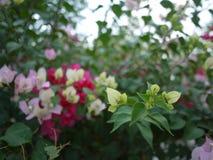 Bloemen van een zijn de roze boeketbouganvilla bloeiend in lentetijd stock afbeeldingen