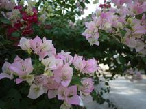 Bloemen van een zijn de roze boeketbouganvilla bloeiend in lentetijd royalty-vrije stock foto's