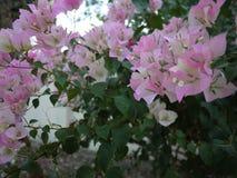Bloemen van een zijn de roze boeketbouganvilla bloeiend in lentetijd stock fotografie