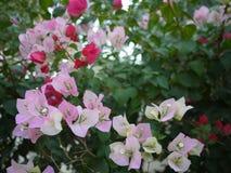 Bloemen van een zijn de roze boeketbouganvilla bloeiend in lentetijd royalty-vrije stock foto