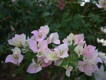 Bloemen van een zijn de roze boeketbouganvilla bloeiend in lentetijd royalty-vrije stock fotografie