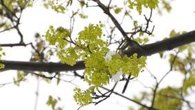 Bloemen van esdoorn in de sneeuwschommeling op een tak De lente Natuurlijke anomalieën stock footage