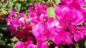 Bloemen van foto de heldere roze bougainvillea Stock Foto