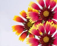 Bloemen van gaydariya. stock foto