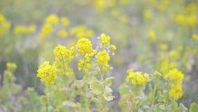 Bloemen van Gebiedsmosterd, in het Park van Showa Kinen, Tokyo, Japan stock videobeelden