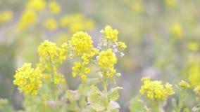 Bloemen van Gebiedsmosterd, in het Park van Showa Kinen, Tokyo, Japan stock footage