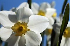 Bloemen van gele narcissen Stock Afbeeldingen