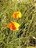 Bloemen van gele papavers royalty-vrije stock afbeelding