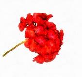 Bloemen van geranium royalty-vrije illustratie