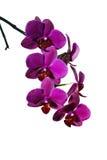 Bloemen van heldere rode geïsoleerde orchidee stock afbeelding