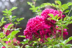 Bloemen van het beklimmen van rozen Royalty-vrije Stock Afbeeldingen