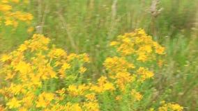 Bloemen van het medische wort die van st-John ` s op gebied tot bloei komen stock footage