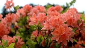 bloemen van het roze van installatieweigela op een gebied stock videobeelden