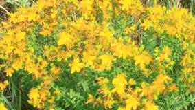 Bloemen van het wort die van st-John ` s op gebied tot bloei komen stock footage