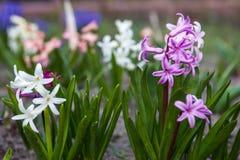 Bloemen van hyacint Royalty-vrije Stock Afbeelding