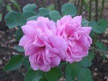 Bloemen van India Stock Afbeelding