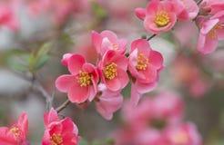 Bloemen van Japanse kweepeerboom - het symbool van de lente, macro schoot w Stock Foto