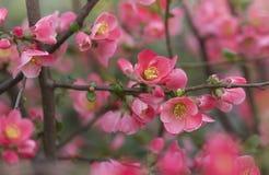 Bloemen van Japanse kweepeerboom - het symbool van de lente, macro schoot w Royalty-vrije Stock Fotografie
