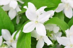 Bloemen van jasmijn Stock Foto's