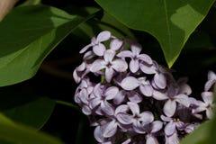 Bloemen van jonge het bloeien lilac dichte omhooggaand royalty-vrije stock afbeelding