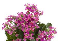 Bloemen van kalanchoe Stock Afbeeldingen
